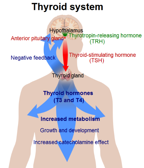 The Hypothyroidism Epidemic